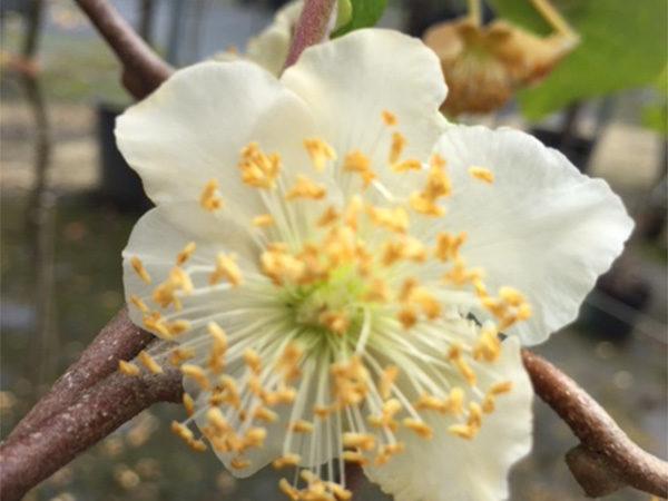 Actinidia chinensis (Macho)