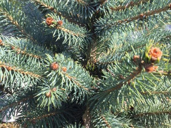 Picea pungens «Hoopsii»