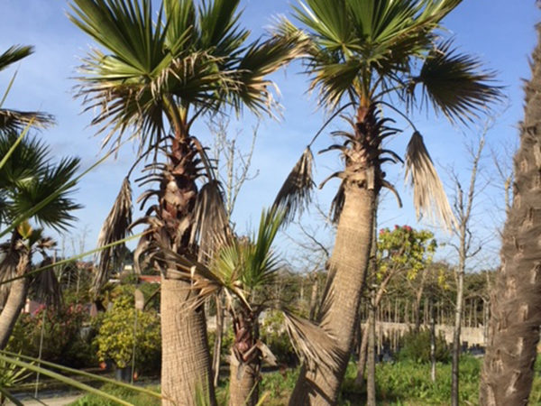 Washingtonia robusta