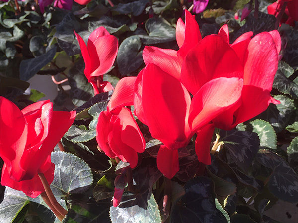 Cyclamen latinia
