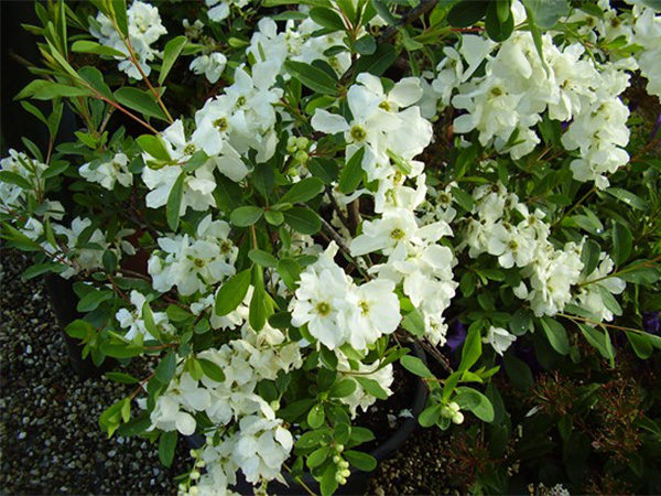 Exochorda macrantha «The Bride»
