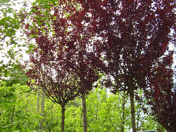 Prunus cerasifera «Pissardii»