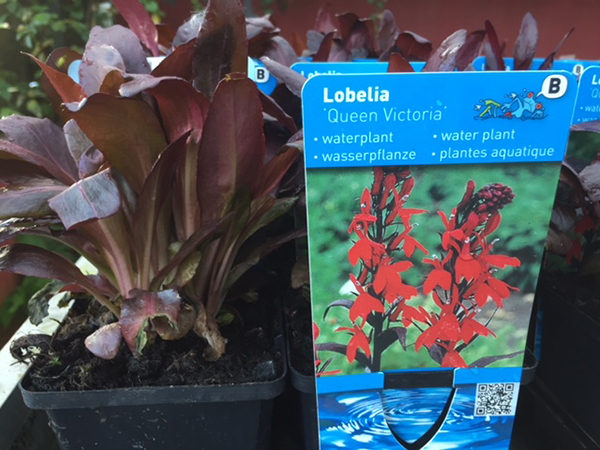 Lobelia car. Queen Victoria